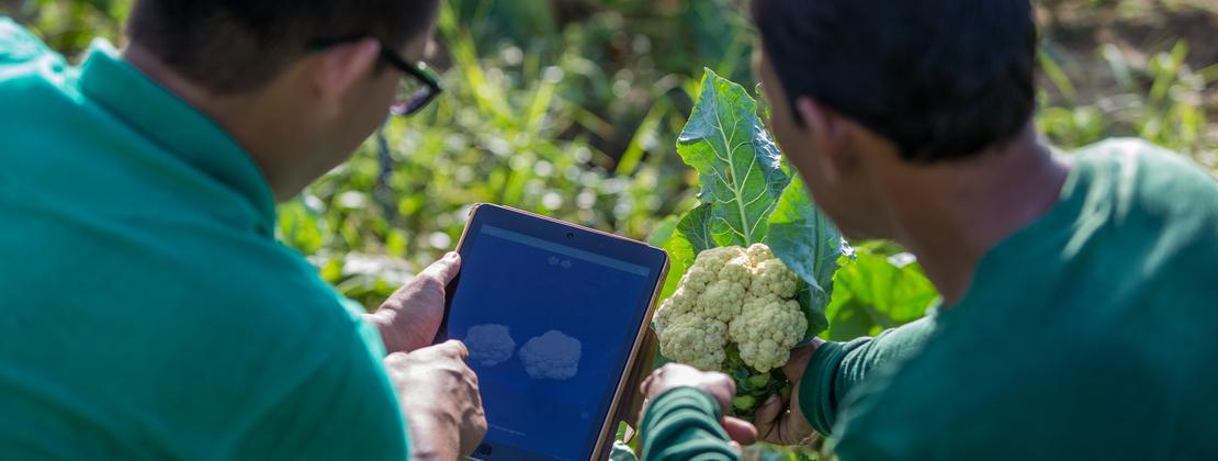 Digital solution for cauliflowers